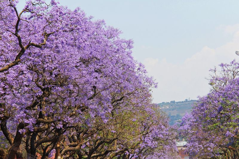 Jacaranda Simbabwe